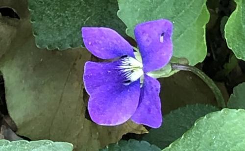 a single violet flower